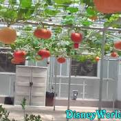 epcot orange veg